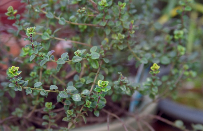 Lemon Thyme is easy to grow and smells delicious!